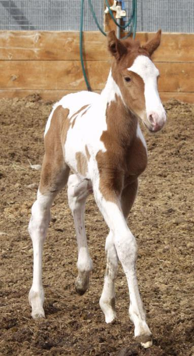 Active 1-day-old tovero colt