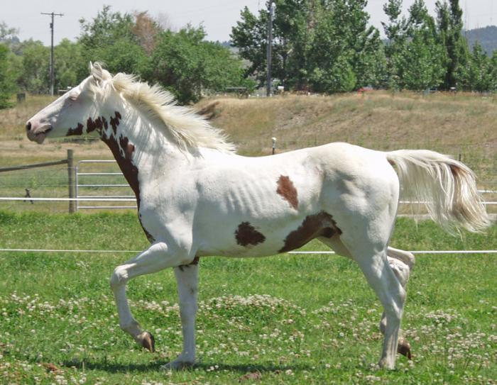 A flashy and athletic 2005 Tovero gelding