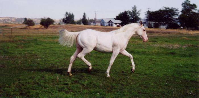 Paint Stallion Moving Gracefully
