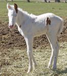 """Mia"" Week-Old Tovero Filly"