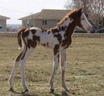 Flashy Overo Filly