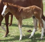 """Royal"", an eye-catching chestnut overo colt"